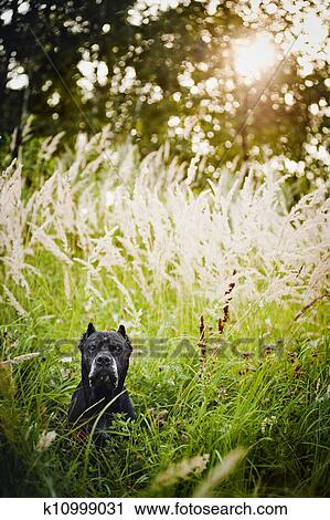 Stock Photography Of Dog Cane Corso Portrait On The Field K10999031