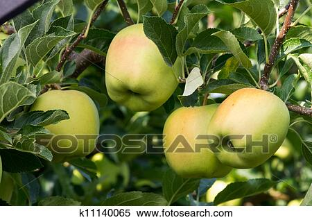 stock image of four apples on the tree in the orchard k11140065
