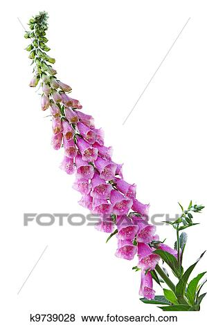 Pictures of foxglove flower k9739028 search stock photos images foxglove digitalis flower plant isolated on white mightylinksfo