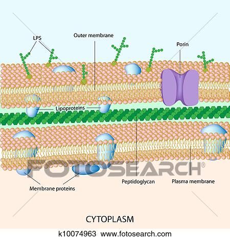 Gram Negative Bacterial Cell Wall Clipart K10074963 Fotosearch