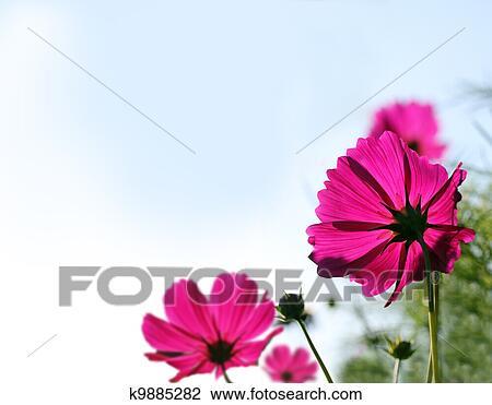 Banque De Photo Joli Rose Mexicain Aster Ou Jardin Cosmos