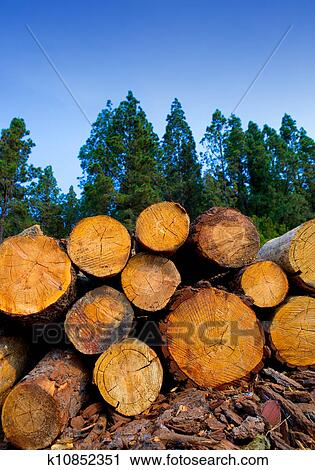 Stock photography of pine tree felled for timber industry Pine tree timber
