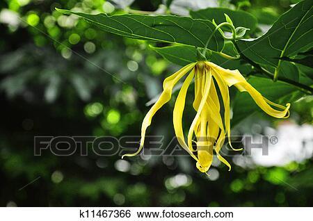 Banque d 39 images ylang ylang fleurs sur arbre for Plante ylang ylang