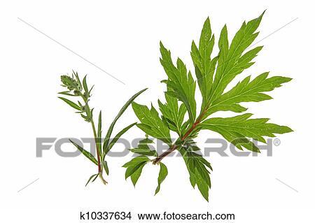 Mugwort Artemisia Vulgaris Picture K10337634 Fotosearch