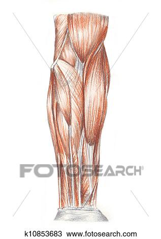 Dessin - muscles edc6cfd67d6