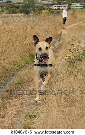 Stock Images Of Puppy Dog Running On Path Mouth Open K10407676