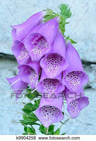 Pictures of purple bell flowers foxglove k9904258 search stock purple bell flowers foxglove bloosoms in the summer mightylinksfo