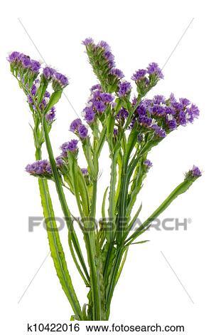 Stock images of purple statice flowers k10422016 search stock purple statice flowers isolated on the white mightylinksfo