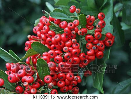 Red Berries In A Green Bush In Winter Stock Photography