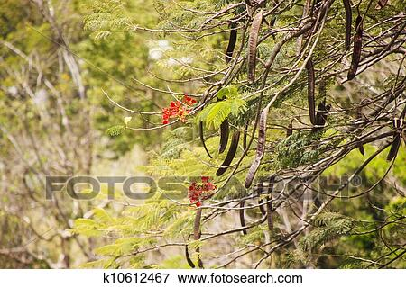 Picture Red Flowers And Pods In Tropical Tree Fotosearch Search Stock Photography