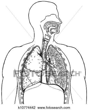 Clipart Of Respiratory System K10774442