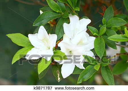 Picture Of Rhododendron Persil White Flowering Bush K9871787