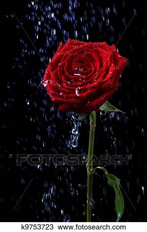 Rose In The Dew Drops On Black Stock Image K9753723 Fotosearch