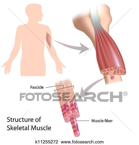 Clipart - skelettartig, muskel, struktur, eps10 k11255272 - Suche ...