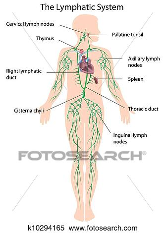 Clipart of The lymphatic system labeled, eps10 k10294165 - Search ...