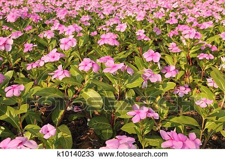 Stock Photo Of Vinca Flower K10140233 Search Stock Images Poster
