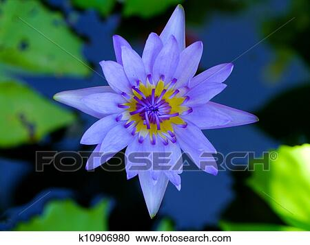Stock Photography Of Water Lily Flower Lotus The Lotus Flower