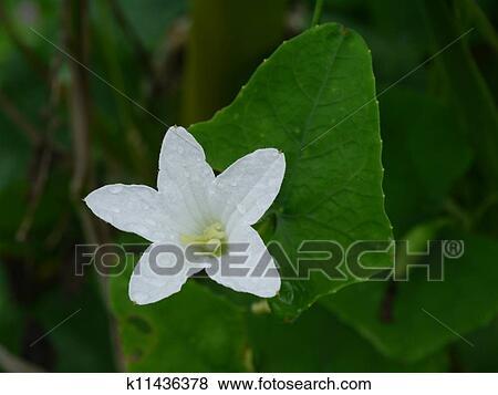 Bilder - weiße blume, von, efeu, kürbis, thailändisch, gemüse ...