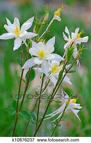White Columbine Flowers Stock Photo K10876237 Fotosearch