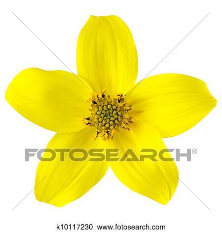Stock photography of yellow wild flower with five petals isolated stock photography yellow wild flower with five petals isolated fotosearch search stock photos mightylinksfo