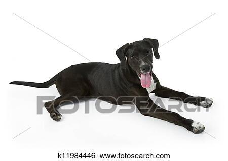 8fd28c17271c1 معرض الفوتوغراف - جرو labrador أسود. Fotosearch