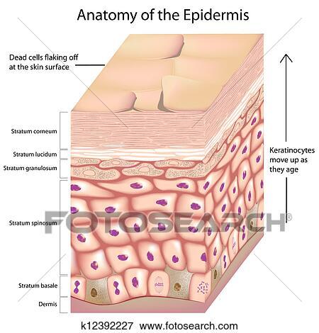 Clip Art - 3d, anatomía, de, el, epidermis k12392227 - Buscar Clip ...
