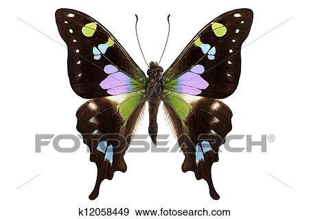 stock photograph of butterfly species graphium weiskei purple