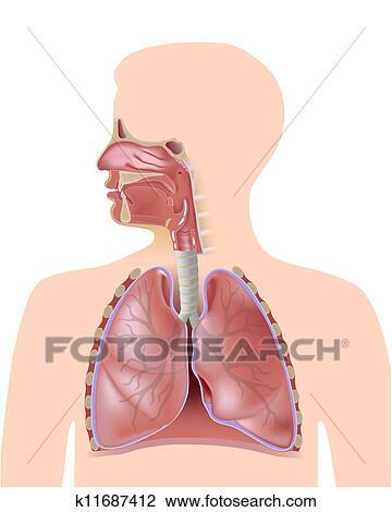 Clipart - dass, atmungssystem k11687412 - Suche Clip Art ...