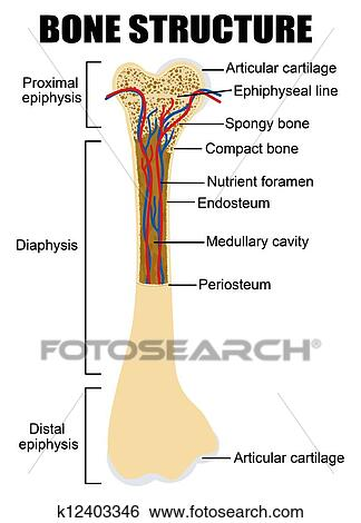 Clip Art Of Diagram Of Human Bone Anatomy K12403346 Search Clipart