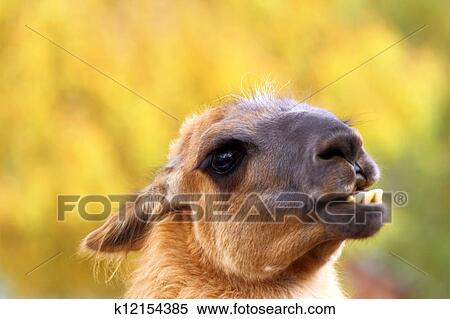 Funny Llama Stock Photography K12154385 Fotosearch