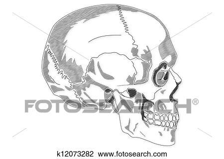 Clip Art - menschlicher schädel, struktur k12073282 - Suche Clipart ...