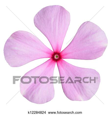 Stock photo of pink periwinkle flower isolated on white k12284824 stock photo pink periwinkle flower isolated on white fotosearch search stock images mightylinksfo