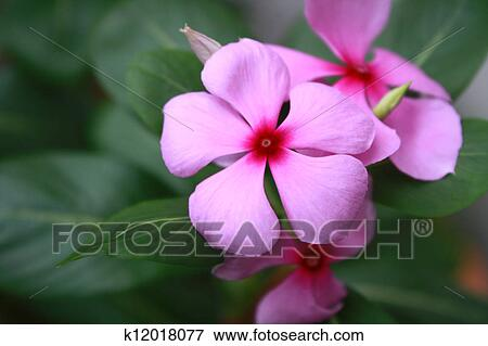 Picture of Pink Rosy Periwinkle Flowers (Catharanthus roseus) close ...