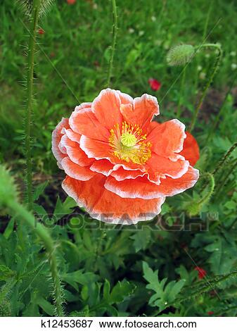 Picture of red double poppy flower with white border k12453687 picture red double poppy flower with white border fotosearch search stock photography mightylinksfo