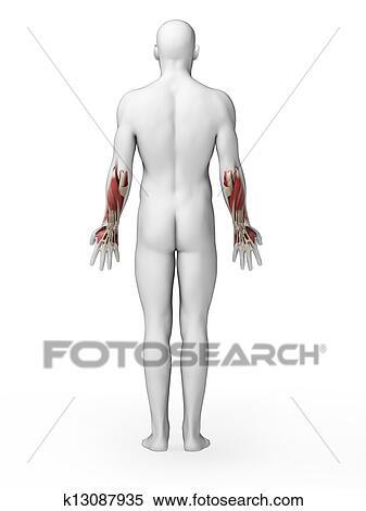 人間 より低い 腕筋肉 イラスト K13087935 Fotosearch