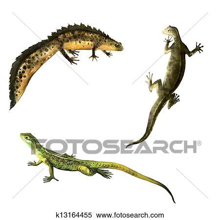 緑のトカゲ Newts Family 男性のそして女性の Newt 両生動物