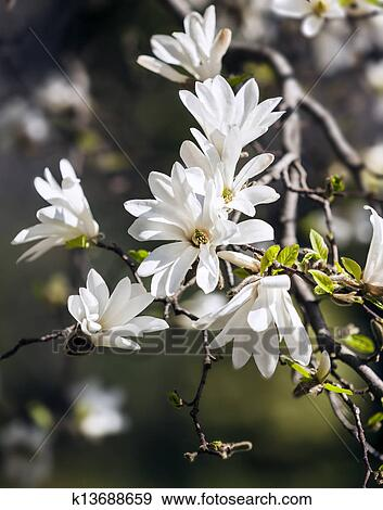 Stock photograph of blooming magnolia tree k13688659 search stock magnolia kobus blooming tree with white flowers against soft nature background mightylinksfo