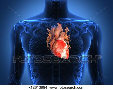 Dessins coeur humain anatomie depuis a sain corps - Dessin coeur humain ...