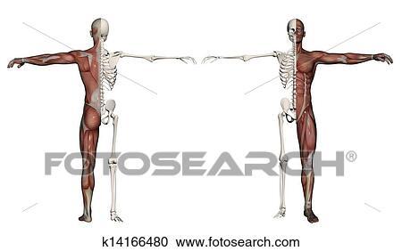 Colección de ilustraciones - cuerpo humano, de, un, hombre, con ...