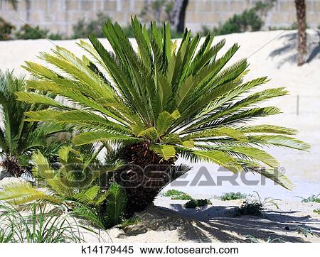 Cycas Revoluta King Sago Cycad Anese Palm Stock Photography