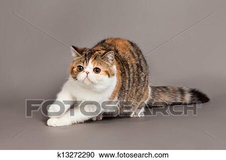 Grey Tabby Cat American Shorthair