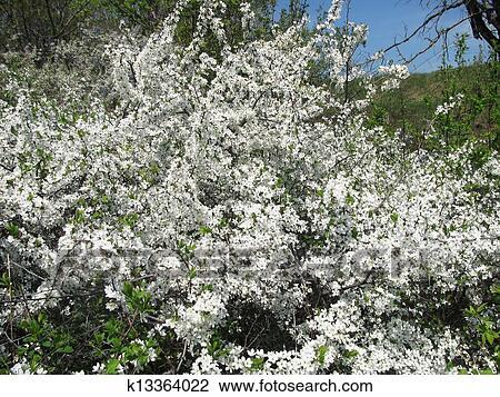 Stock photo of flowering bush thorns k13364022 search stock beautiful flowering bush thorns with lots of white flowers mightylinksfo