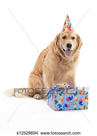 Stock Photo Of Golden Retrievers Birthday K12528694 Search Stock