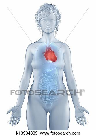 Stock Photograph Of Heart Position Anatomy Woman Isolated K13984889