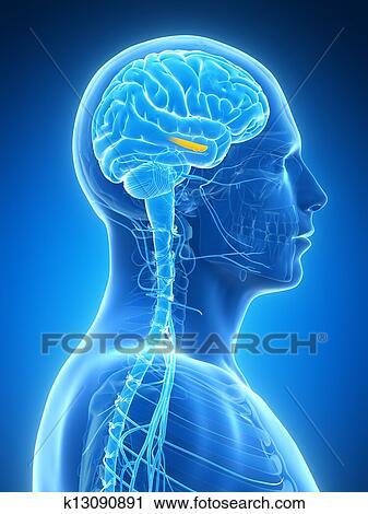 Clipart - hipocampo k13090891 - Buscar Clip Art, Ilustraciones de ...