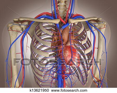 Coleccin de ilustraciones hombre esqueleto con interno organs