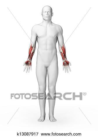 Stock Illustration of Human - lower arm muscles k13087917 - Search ...