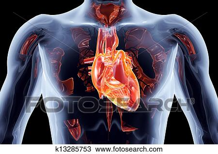 Drawing Of Internal Organs Heart K13285753 Search Clipart