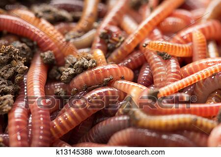 Pictures of red worms in compost bait for fishing for Red worms for fishing