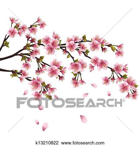 Clipart r aliste sakura fleur japonaise cerisier voler p tales isol blanc fond - Cerisier en fleur dessin ...